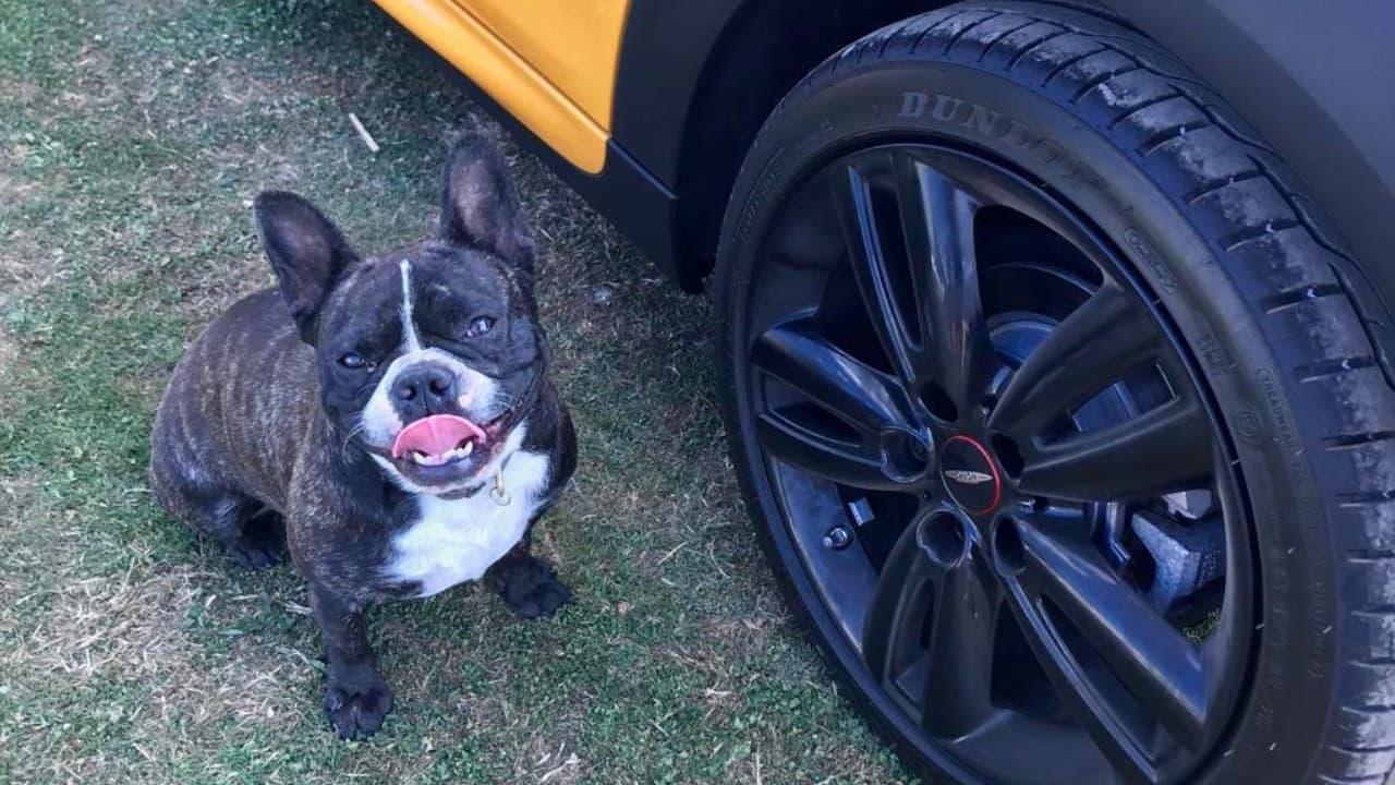 Frenchie standing next to a MINI alloy wheel